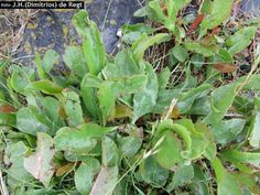 Lamsoor - Limonium vulgare