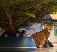 Katzen und Weihnachtsbaum - geht das gut?