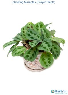 This is a guide about growing marantas (prayer plant). Given the right conditions marantas (prayer plants) are an easy to grow houseplant. Indoor Garden, Garden Plants, Indoor Plants, Prayer Plant Care, Plantas Indoor, Polycarbonate Greenhouse, Types Of Farming, Natural Farming, Calathea