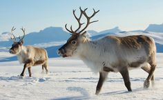 Concern for the herders? What about the animal's losing their lives as a result of a knee jerk decision? Russia Plans to Kill 250,000 Reindeer Amid Anthrax Fears