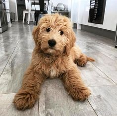 The Cavapoo is a crossbreed that results from breeding a Poodle and a Cavalier King Charles Spaniel. Cavapoos were initially created to be hypoallergenic dogs and thus the ideal companion for… Chien Goldendoodle, Goldendoodles, Labradoodles, Cavapoo Dogs, Goldendoodle Grooming, Chocolate Goldendoodle, Teddy Bear Goldendoodle, Goldendoodle Names, Golden Labradoodle