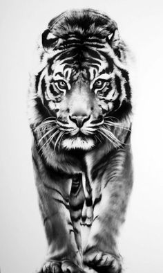 PRINT: Limited Edition Tiger Drawing by CarlaGraceArt on Etsy