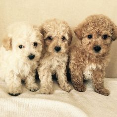 Poochons are a crossed between a pedigree Bichon Frise and a pure bred Miniature Poodle, although sometimes a Toy Poodle may be used in a breeding programme. Baby Puppies, Baby Dogs, Cute Puppies, Pet Dogs, Dogs And Puppies, Poodle Puppies, Lhasa Apso, Bichon Frise, Cute Puppy Breeds