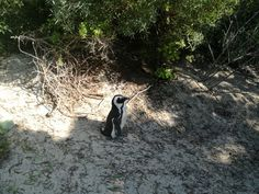 bouldersbeach. africanpenguin. southafrica photography Panda Bear, Photos, Photography, Life, Animals, Pictures, Photograph, Animales, Animaux