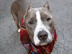 TO BE DESTROYED - 05/09/14  Manhattan Center -P   AMY A0997880  Spayed female gray/white pit bull mix. 4 YRS old. 4/26/2014  Own surr -PET HEALTH  Volunteer says: She's shy and timid at first, warm up w/ gentle coaxing. Lived w/ 4 adults & 3 kids, good w/ all. Likes other dogs. Sits on command, takes treats softly, likely house trained. Reach out and offer a helping hand to lift her spirits and a soft word to soothe her broken heart.