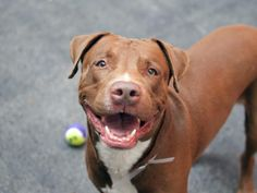 TO BE DESTROYED 6/1/14 Manhattan Center -P  My name is HENNESSY. My Animal ID # is A1000330. I am a male brown and white labrador retr and pit bull mix. The shelter thinks I am about 4 YEARS old.  I came in the shelter as a OWNER SUR on 05/19/2014 from NY 10452, owner surrender reason stated was MOVE2PRIVA.