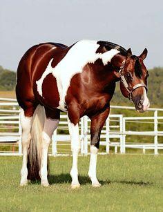 APHA Paint western pleasure stallion, John Simon. photo: Shane Rux.