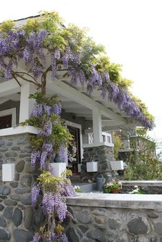 Wisteria growing over pergola.