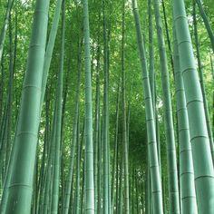 Un Paquete de 60 Unidades Semillas Fresco Gigante de Bambú Moso Semillas para el Jardín de DIY Planta