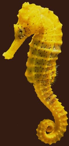 Slender Seahorse - An Endangered Species   ...........click here to find out more     http://googydog.com