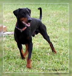 doberman without ears cropped - Google Search