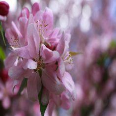 apple spring flower