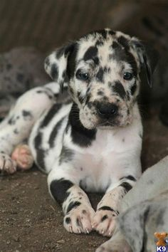 Catahoula Leopard Dog Pup