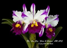Blc. Ann Cleo 'Stars & Stripes' AM AOS