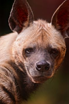 The striped hyena (Hyaena hyaena) is native to North and East Africa, the Caucasus, the Middle East, Middle and Central Asia and the Indian Subcontinent.    It is listed by the IUCN as near threatened, as the global population is estimated to be under 10,000 mature individuals.    (info source: wiki)