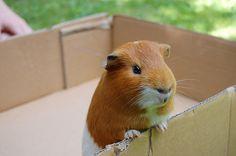 Guinea Pig in a box