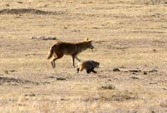 Spotted! A Coyote and Badger Hunting Together