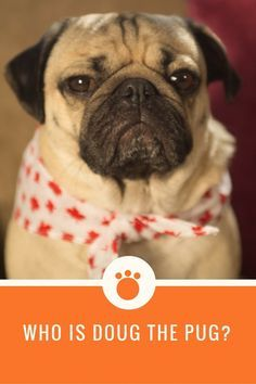 Who is Doug the Pug? A jet setting, fashion forward, social media mogul. Check out our exclusive interview with the celebrity pug and his mom/manager Leslie at http://talenthounds.ca/news/who-is-the-amazing-king-of-pop-culture-doug-the-pug/ !