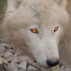 white wolf , gold eyes