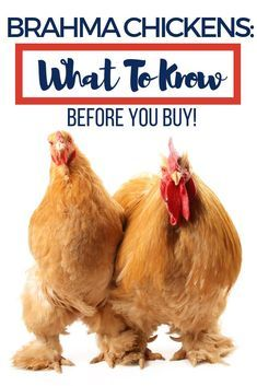 Brahma Chickens: What To Know Before You Buy! What is the price of a brahma chicken? Find out everything you need to know here! Bantam Chicken Breeds, Bantam Chickens, Pet Chickens, Raising Chickens, Fancy Chickens, Raising Goats, Urban Chickens, Keeping Chickens, Buff Brahma Chicken