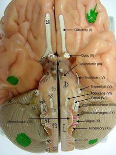 cranial+nerves+on+models+labeled   Brain Model - (Somso) by janna