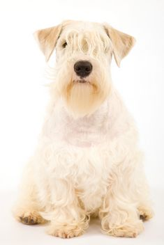 Sealyham Terrier - my new favorite dog breed Glen Of Imaal Terrier, Sealyham Terrier, Terrier Dog Breeds, Bull Terriers, Terrier Mix, Unique Dog Breeds, Rare Dog Breeds, Huge Dogs, I Love Dogs
