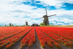 Tulips and windmills, a breathtaking match perfect for the Netherlands countryside. http://www.hollandamerica.com/cruise-destinations/northern-european-cruises?WT.mc_id=SM_Pinterest