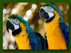 De Ara De ara is de grootste papagaaien soort. Van kop tot staart gemeten, kunnen ze bijna meter lang zijn. De blauwgele ara heeft een lichtgroen voorhoofd. Dit groen loopt over in verschillende kleuren blauw. Zijn nek en borst zijn felgeel gekleurd. Rond hun ogen hebben deze vogels geen veren.  Lees meer op dierenplaza.nl
