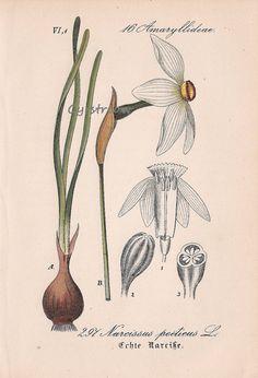vintage botanical print POET'S DAFFODIL - antique flower art from 1880