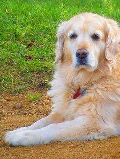 Maud, Golden retriever