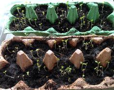 Jetzt beginnt die Zeit, da man anfängt, Kräuter,Gemüse, Kartoffeln für den Garten vorzukeimen.Je früher man anfängt, desto eher kommt man in den Erntegenuss