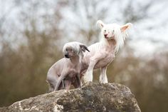 Chinese Crested Dogs | Flickr - Photo Sharing!