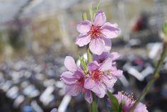 Peach Saturn blossom