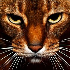 Thinking about adopting an Abyssinian #cat? Learn all you need to know about the majestic breed. http://www.examiner.com/article/adopting-abyssinian-all-you-need-to-know-about-adopting-an-abyssinian-cat-breed