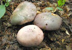Holubinka namodralá - Russula cyanoxantha