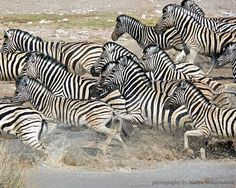 Flight of the Zebras  photo print  8x10 inches by oceloteyes, $20.00