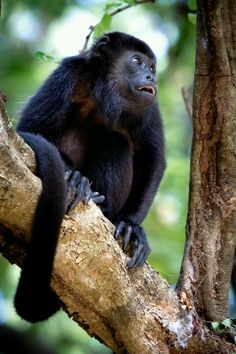 Howler monkeys are amazing!