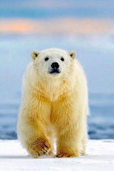 Big Beauty Polar Bear!