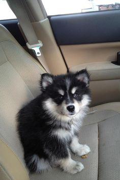 Taavi puppy
