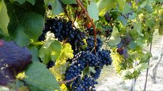 reife Weintrauben Fruit, The Fruit
