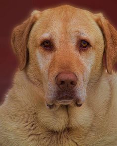 My beautiful Golden Lab/Chesapeake Bay Retriever--Brody.