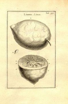 Citrus limonum | citron | lemon | Josephi Pitton Tournefort ... Institutiones rei herbariæ.. Parisiis :E Typographia Regia,1700-[1703]. biodiversitylibrary.org/page/538194