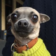 Always In Sydney: Terrified Chihuahua
