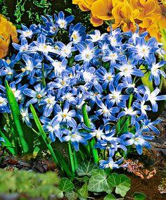 Vårstjärna (Chionodoxa forbesii) här extremt kraftfulla kupiga växten från bergen förebådar vårens ankomst. Perfekt för naturalisering mellan perenner och under buskar, där den förökar sig snabbt. De upprättstående stjälkarna är 15 till 20 cm höga och bär mellan fyra och tio blommor i ljuvligt blekblått med ett stort hjärta. Rekommenderas varmt. Zon 5.