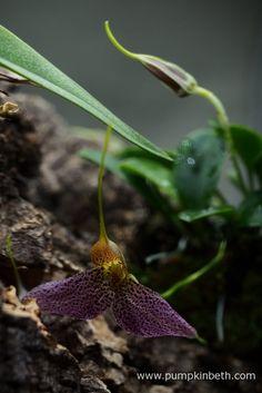 Here's another photograph of my Masdevallia decumana flowering inside my Miniature Orchid Trial BiOrbAir Terrarium.