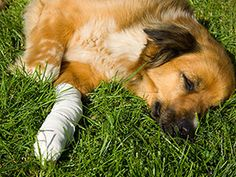 By Dr. Sherry Weaver I am truly in need of help, please. I have an eight-year-old female Sheltie. She has helped our daughter overcome her phobia of dogs -- she is our HERO! A month ago she developed a granuloma the size of a quarter on her back paw; she has been given an antibiotic injection and was prescribed cream... Everything appeared to be going well, and then a few days ago, it got very inflamed and started to bleed.