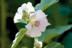 Marshmallow Root (Althaea Officinalis) for mouth wash, heartburn, peptic ulcers, inflamed intestines, lungs moisture (cold/flu) and urinary tract.