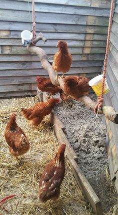 Building A DIY Chicken Coop If you've never had a flock of chickens and are considering it, then you might actually enjoy the process. It can be a lot of fun to raise chickens but good planning ahead of building your chicken coop w Backyard Poultry, Backyard Chicken Coops, Chicken Coop Plans, Building A Chicken Coop, Diy Chicken Coop, Chickens Backyard, Chicken Run Ideas Diy, Chicken Barn, Chicken Feeders