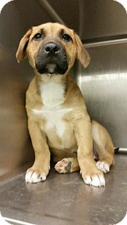 German Shepherd Dog/Labrador Retriever Mix Puppy for adoption in norridge, Illinois - Basil