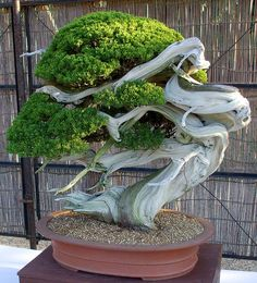 """ A bonsai tree can be any tree that is grown in miniature to resemble an aged tree. The more mature a bonsai tree, the more value it has. Bonsai is Japanese for 'tree in a pot'. However, simply placing a tree in a tiny pot does not. Ikebana, Plantas Bonsai, Bonsai Plants, Bonsai Garden, Bonsai Trees, Pine Bonsai, Cacti Garden, Terrarium Plants, Tree Garden"